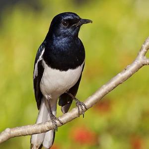 3 Jenis Burung Pengicau Paling Populer di Indonesia