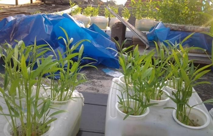 Kangkung Hidroponik, Sayuran Tahan Banting: Ulasan dan Tutorial