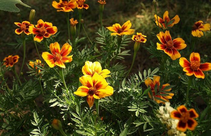 Mengenal Ragam Tanaman Hias Berbunga Untuk Bunga Potong - 1