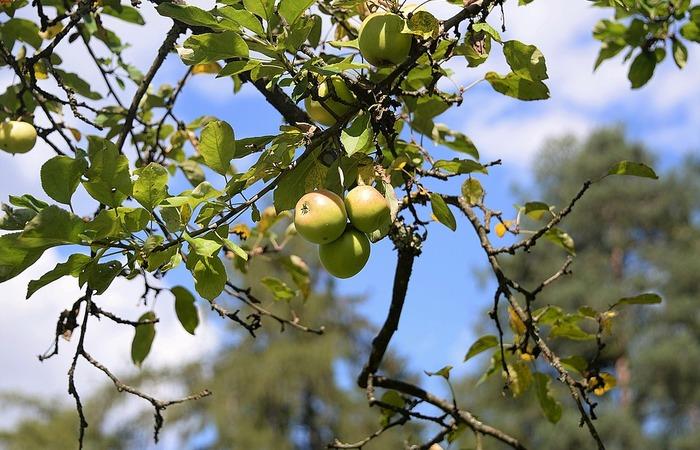 Cara Menanam Putsa, Apel India Dalam Pot (Tabulampot Putsa)