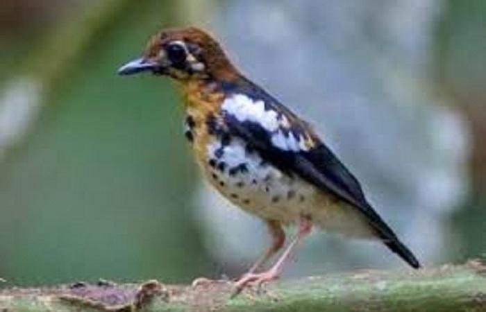 Jenis Jenis Burung Anis yang Ada Di Indonesia