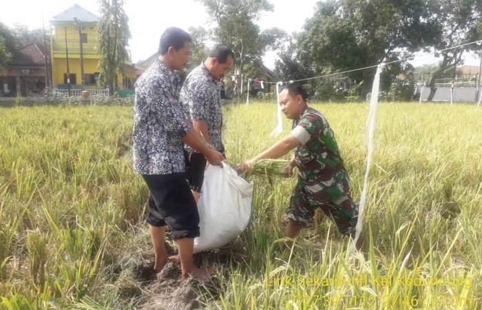 Koramil 0815/19 Magersari Bersama PPL Kawal Pengubinan Padi