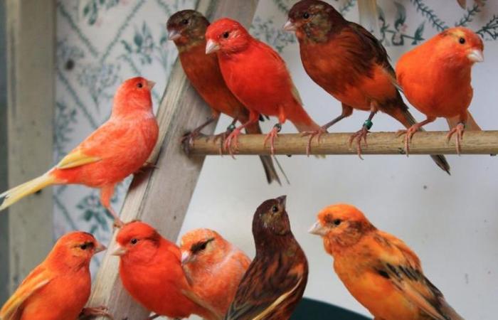 Harga Burung Kenari Terbaru Per Januari 2019