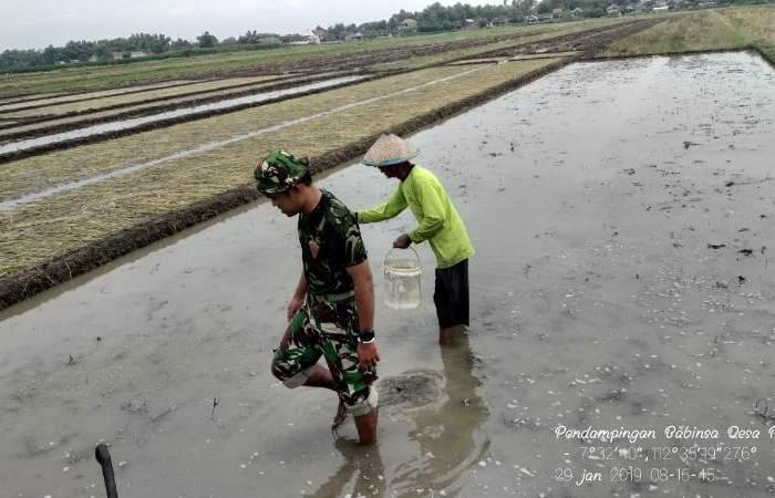 Babinsa Koramil 0815/11 Pungging Dampingi Petani Sebar Benih Padi