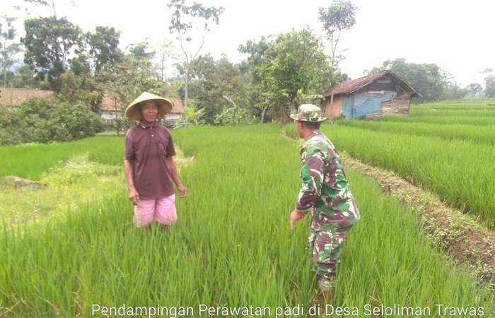 Kebersamaan Babinsa Koramil 0815/17 Trawas Dan Petani Rawat Tanaman Padi