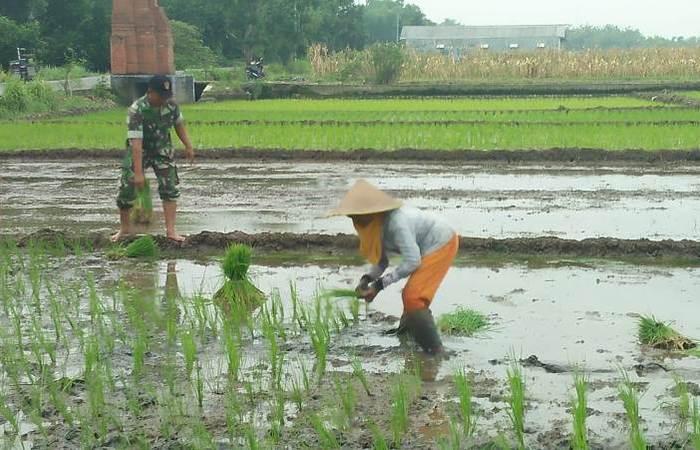 Kawal Upsus Ketahanan Pangan, Babinsa Kranggan Dampingi Petani Tanam Padi