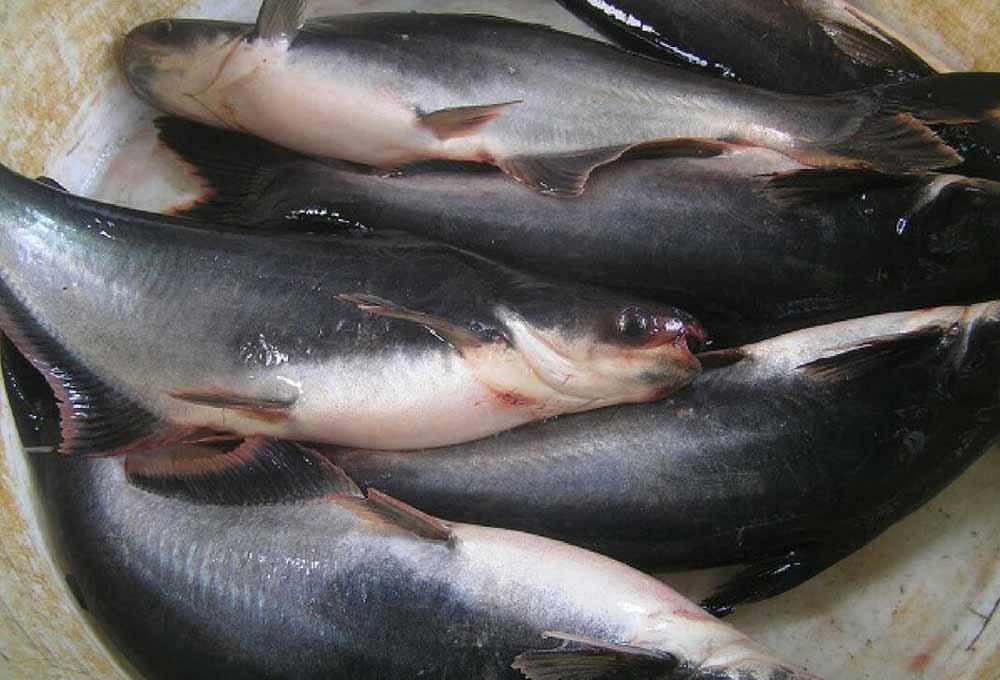 Untung Berlipat Hanya dengan Budidaya Ikan Patin